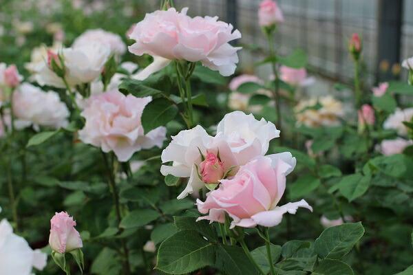ラマリエの咲いた様子 河本バラ園のバラの苗