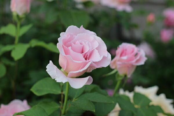 ラマリエのつぼみ 河本バラ園のバラの苗