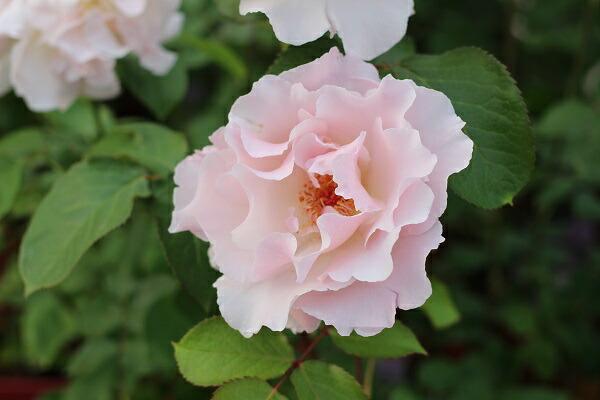 ラマリエ 河本バラ園のバラの苗