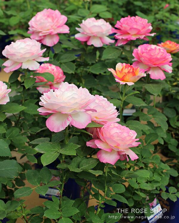 デルバールのバラ「マルクシャガール」ピンクに白の絞りが入る大輪花