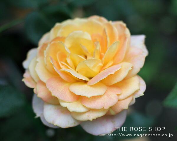 デルバールのバラ「キャラメルアンティーク」心地よい香りと魅力的な花色の大輪花