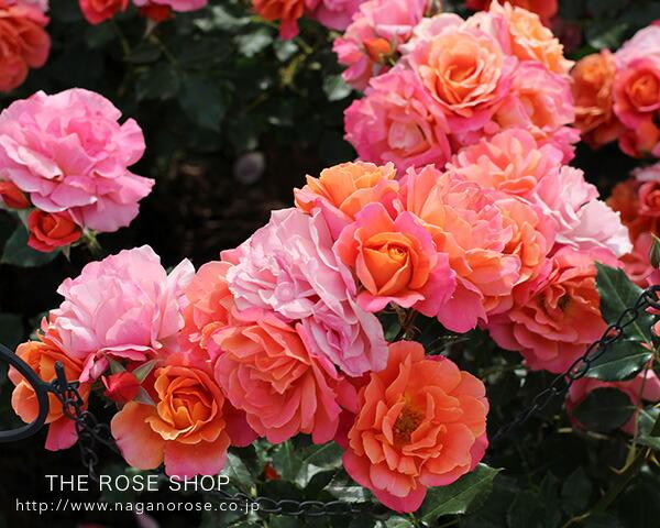 「花のパレード」をイメージする、華やかな色彩の中輪花 ディズニーランドローズ