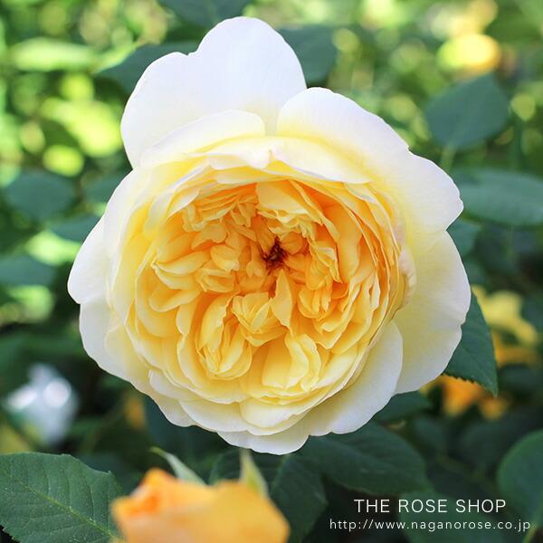 デビッドオースチンのバラ ザポエッツワイフ。色あせないはっきりとした黄色。