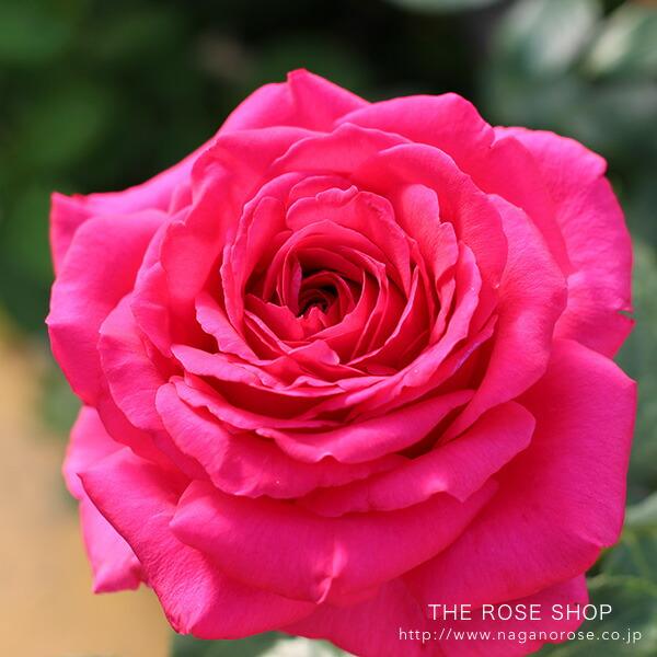 デルバールのバラ レジスマルコン。初心者でも育てやすい濃い赤で強香のバラ。