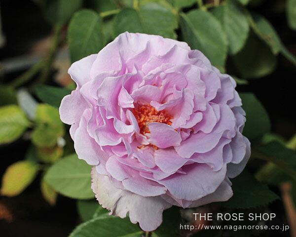 ローズなかしまの品種、エターナルのバラの苗