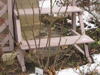 冬のバラの剪定の仕方 つるバラ