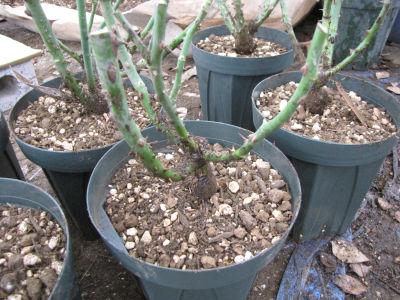 裸苗 鉢植えの仕方 バラ苗