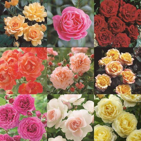 ハークネスローズ Harkness Roses