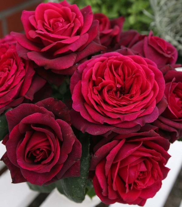 コルデスのバラ、グレーフィンディアナのバラの苗