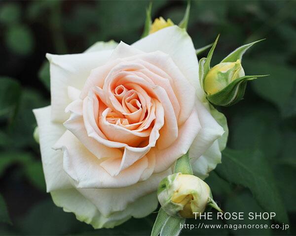 ローズなかしまの「プリエール」のバラ苗