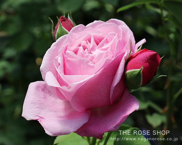 シャンテロゼミサトのバラの苗