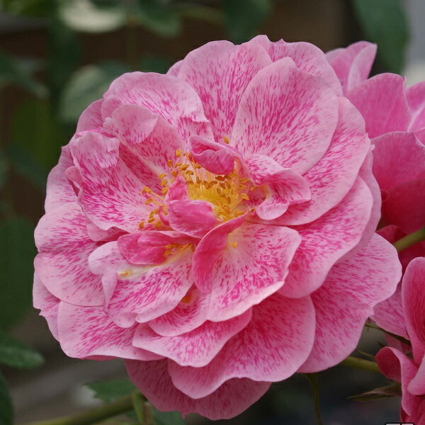 特徴のある花びらが魅力の誘引しやすいつるバラ、キャメロットのバラの苗