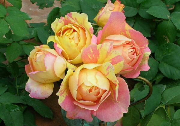 贈り物にぴったりのバラ バラ 大きめ 鉢 ギフト