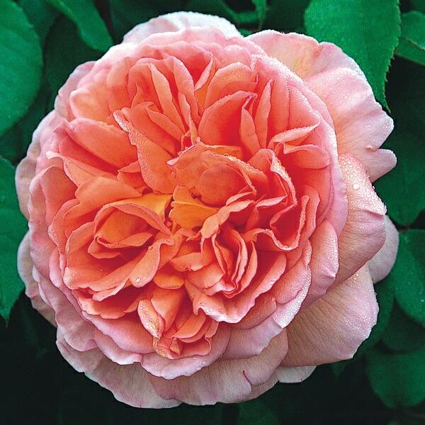 デビッドオースチンのバラ アブラハムダービー