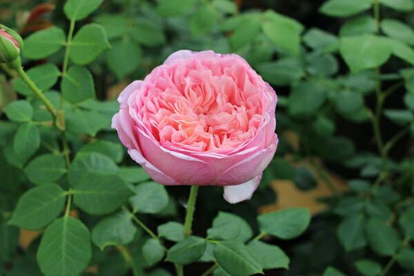 アブラハムダービー バラの苗