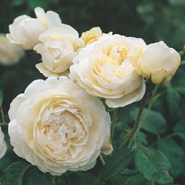 デビッドオースチンのバラ