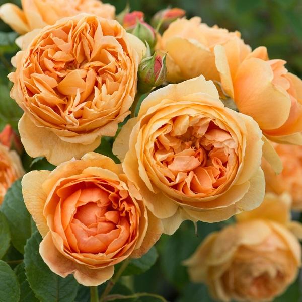デビッドオースチンのバラ苗 キャロリンナイト