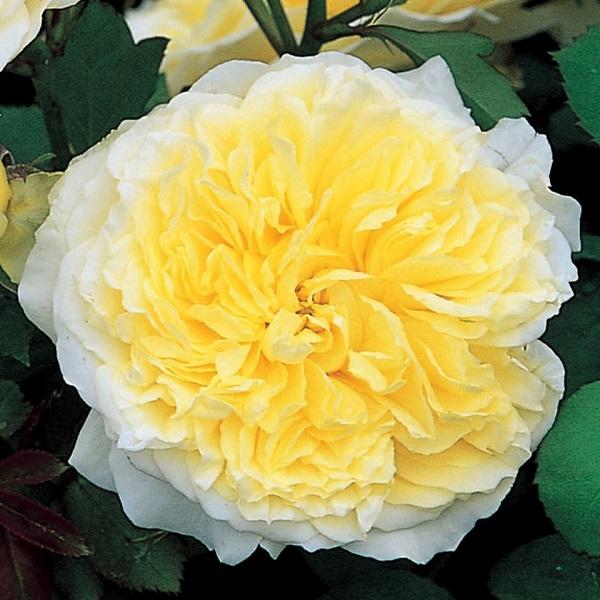 デビッドオースチンのバラ ザピルグリム