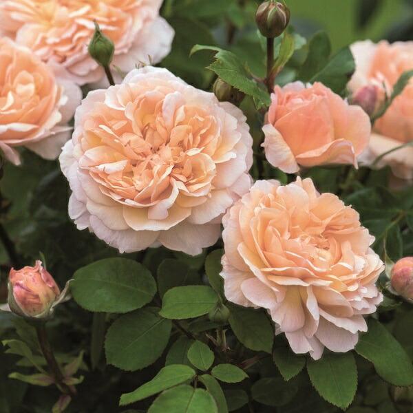 イングリッシュローズのバラの苗