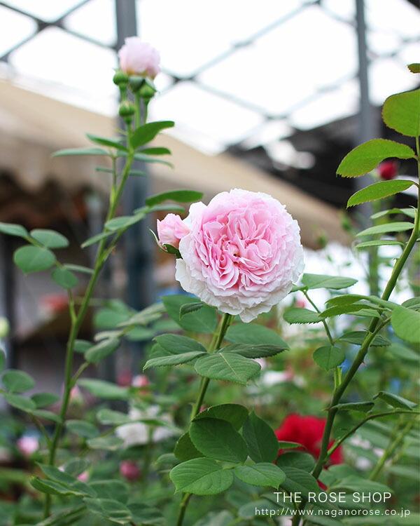 イングリッシュローズ「ジェームズ・ギャルウェイ」のバラの苗