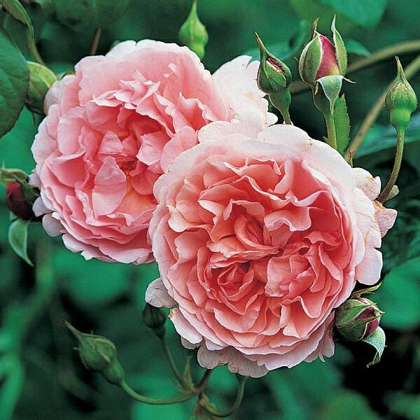 デビッドオースチンのバラ ストロベリーヒル