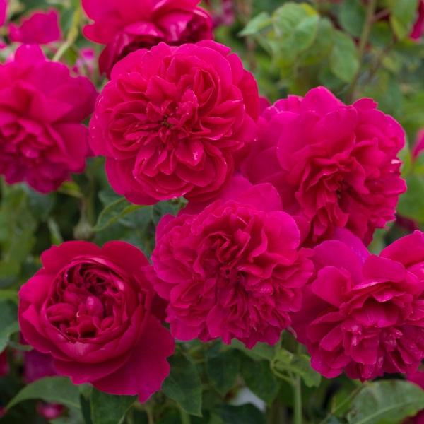 デビッドオースチンのバラ トーマス・エイベケット