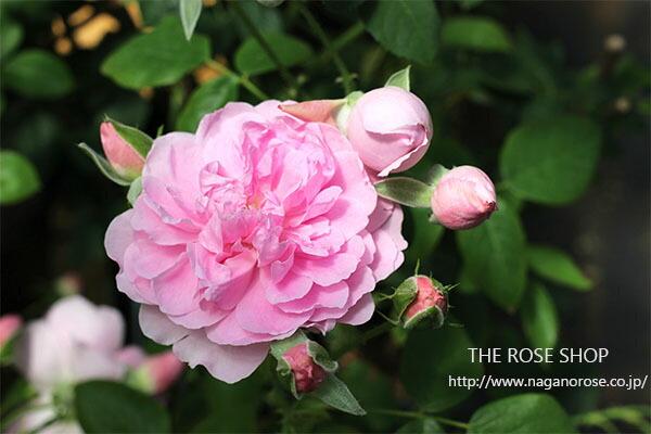 デビッドオースチンのイングリッシュローズ「ハーロウカー」のバラの苗