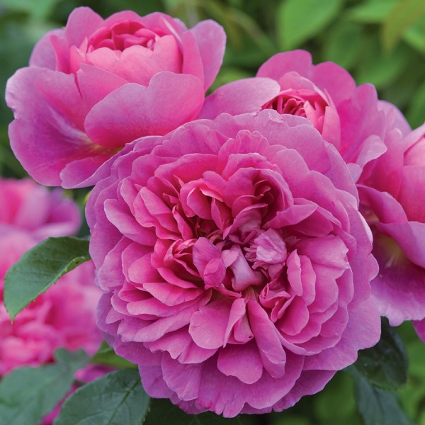 デビッドオオースチンのバラ プリンセスアン