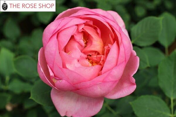 イングリッシュローズのバラの苗 バラボスコベル