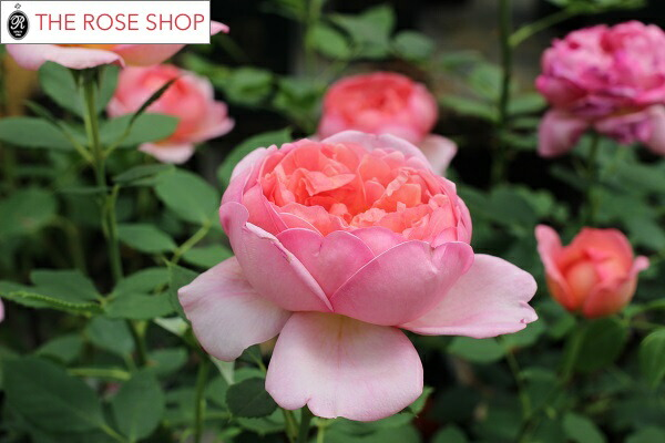 イングリッシュローズのバラの苗 ボスコベルの花