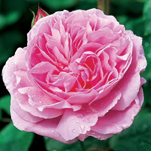 デビッドオオースチンのバラ メアリーローズ