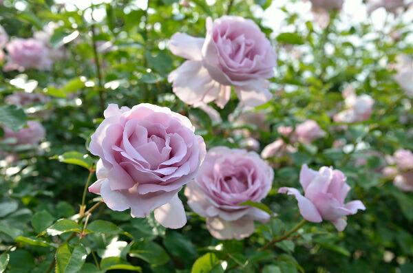https://image.rakuten.co.jp/roseshop/cabinet/nae/imgrc0089954358.jpg