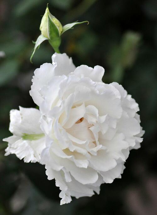 河本バラ園のバラの苗「ルブラン」