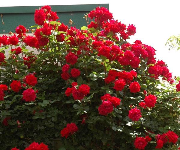 赤いつるバラの苗 あんくるうぉるたー