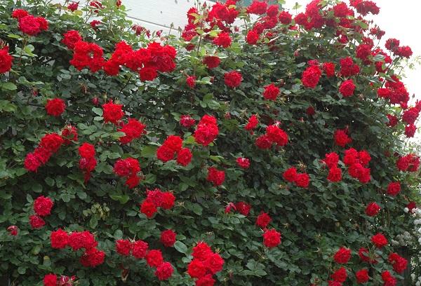 昔から愛されている赤いつるバラの苗 あんくるうぉるたー