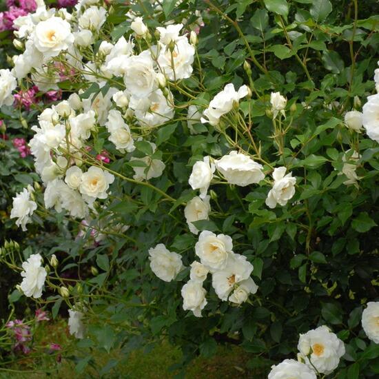つるアイスバーグのバラ苗