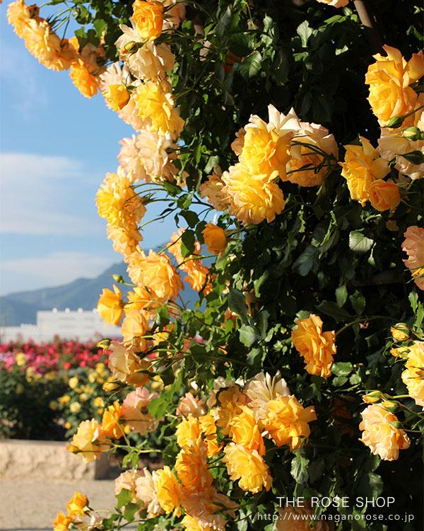 つるバラ「サハラ」のバラ苗