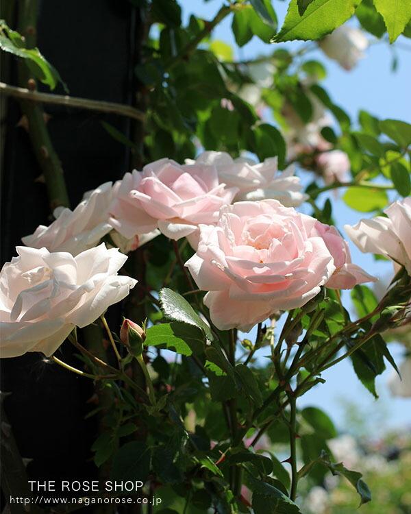 ニュードーンのバラ苗