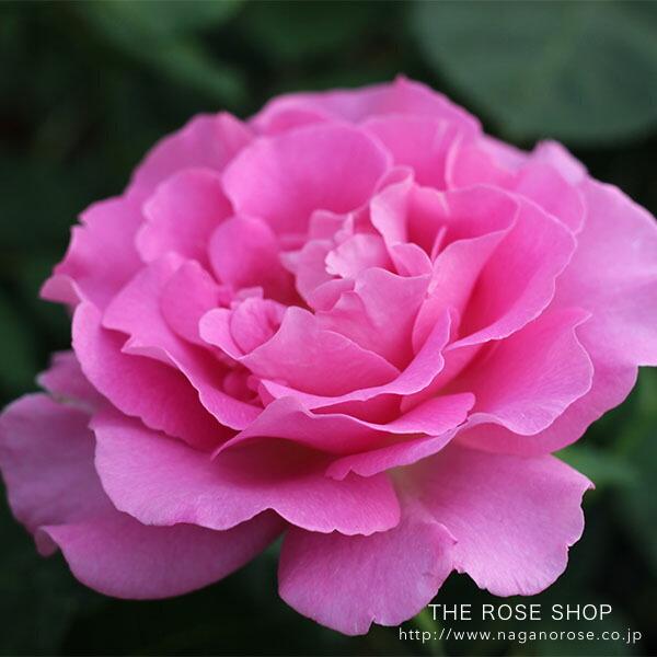 ローズなかしまのバラ「アリュール」の丈夫なピンクのバラ苗