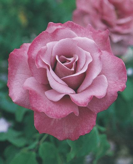 エンジェルフェイスのバラの苗