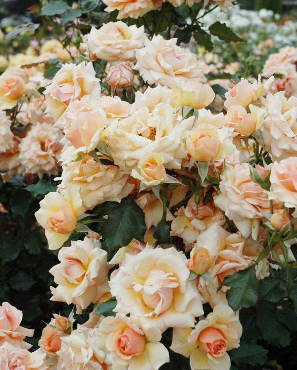 香りもある強健種のフロリバンダ、琴音のバラの苗