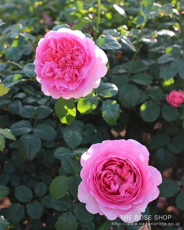 イングリッシュローズのバラの苗 ピンクのバラ ぷりんせすあれきさんどらおぶけんと