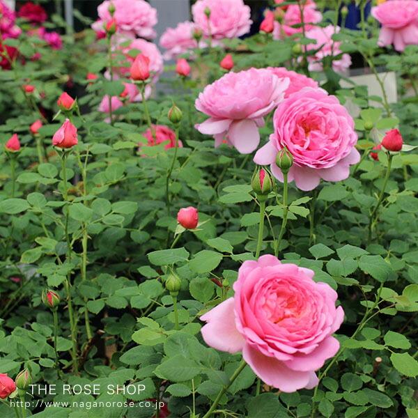 イングリッシュローズのバラの苗 プリンセスアレキサンドルオブケント