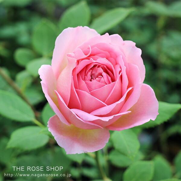 デビッドオースチンのバラ バラの苗 イングリッシュローズ