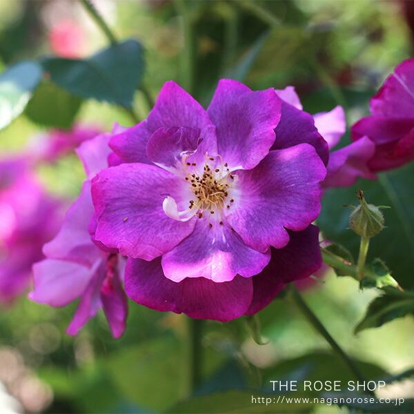 ラプソディーインブルーのバラ苗 紫色のバラ