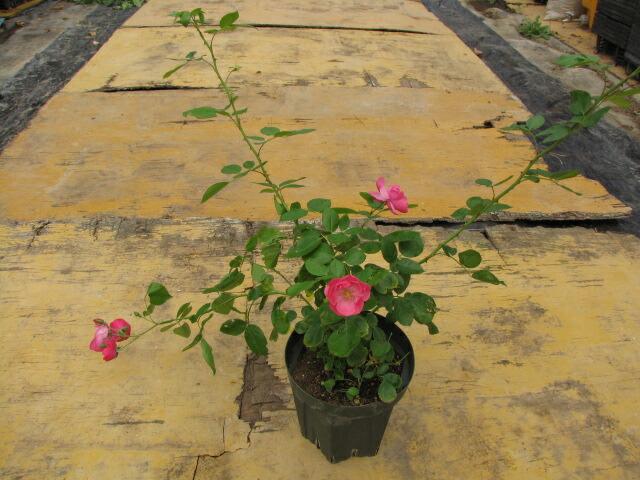 バラ鉢の予約開花株のお届けイメージ