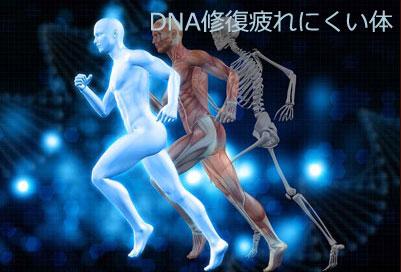 DNA修復 疲れにくい体