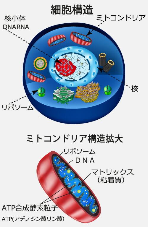ミトコンドリア 構造