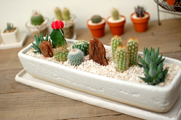 Saboten s rakuten global market cactus and succulent for Indoor gardening market size
