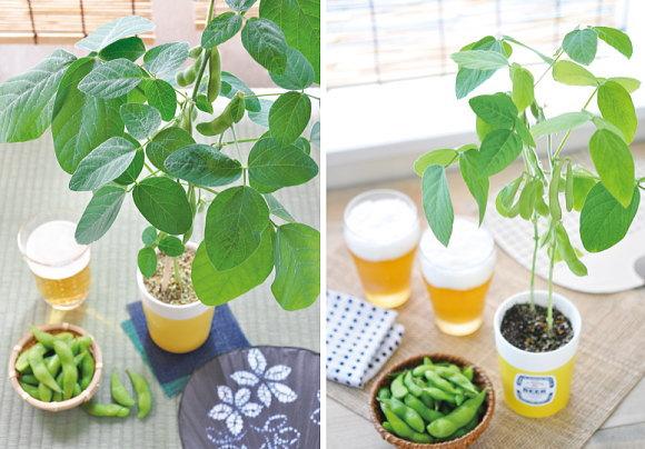 枝豆 栽培 キット
